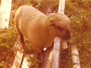 Una, our Southdown Ewe