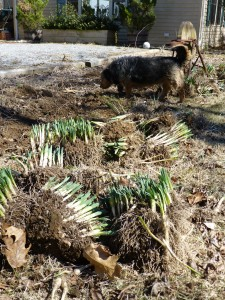 Bunches of Daffodils ready to divide