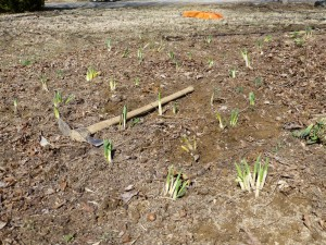 Daffodils After Planting, before mulch