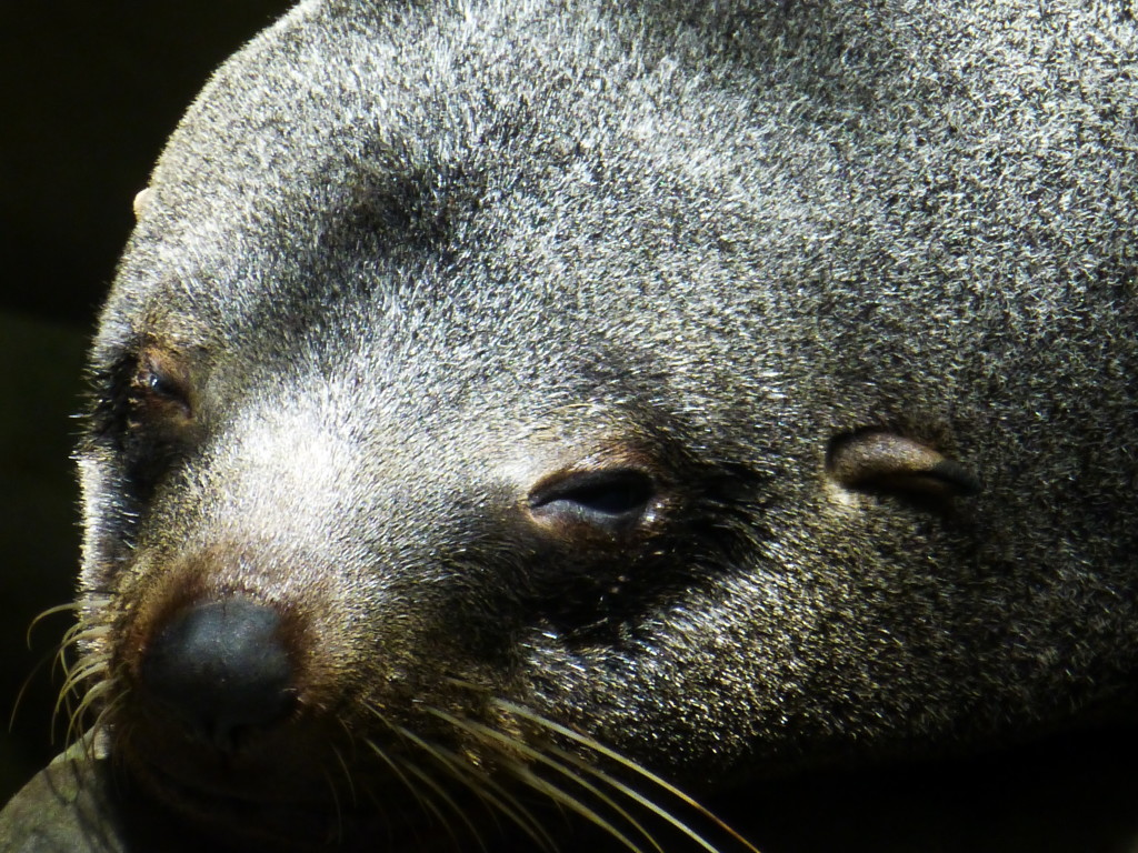 Closeup of Fur Seal