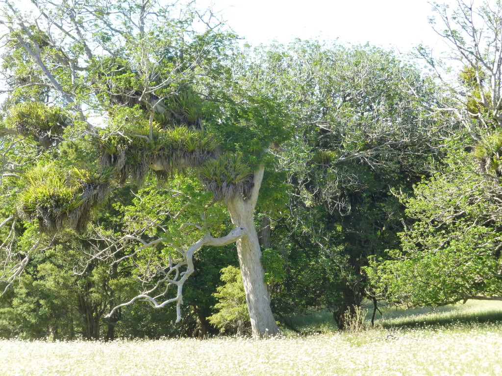 "Epiphytic ""Bird Nests"" in Tree"
