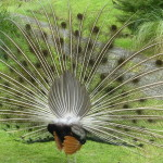 Peacock Back Fan