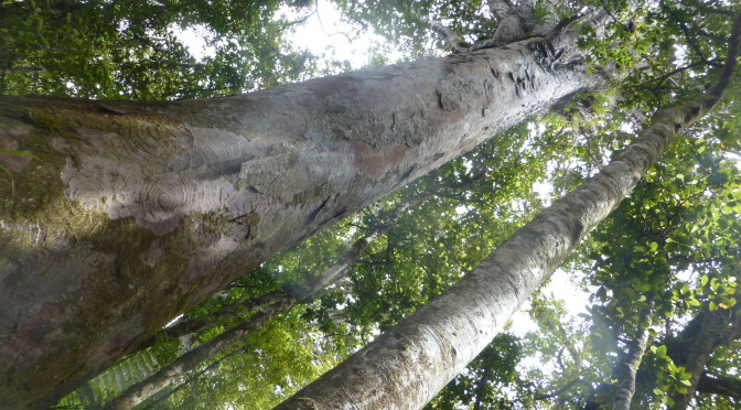 Final NZ Days-Kauri Trees-Days 24-26
