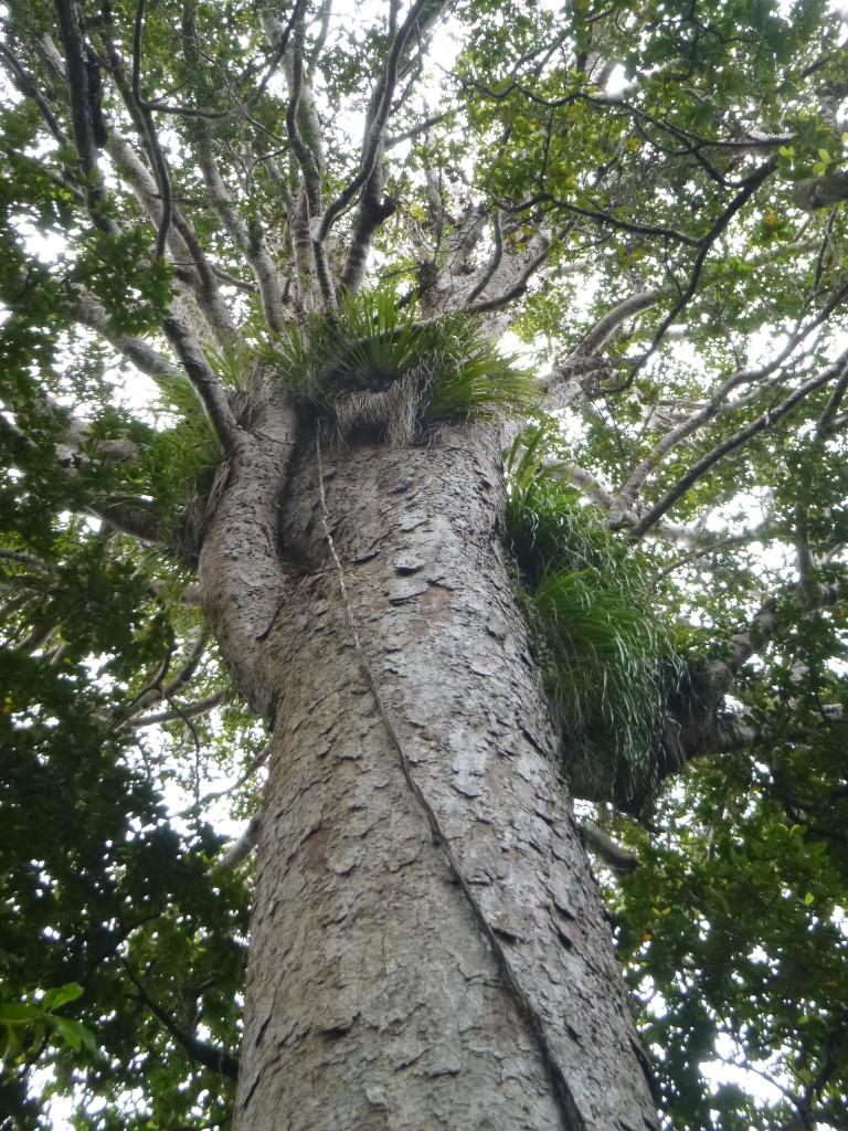 High in a Kauri Ecosystem