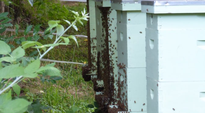 Bees, Queens, Mites and Beetles -September 2016
