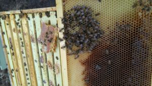 Bees Buried in Comb