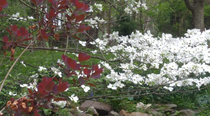 Dogwood, Redbud and Smoketree