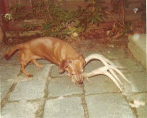 Gretchen gnawing on antlers