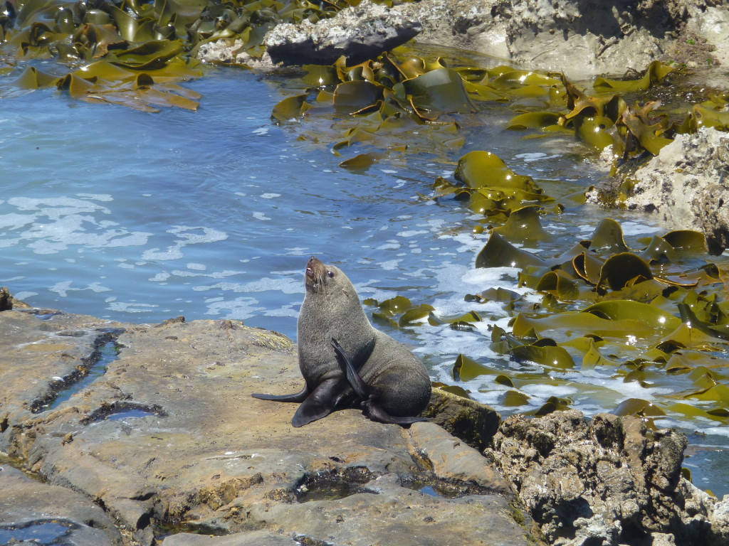 Seal with Giant Kelp