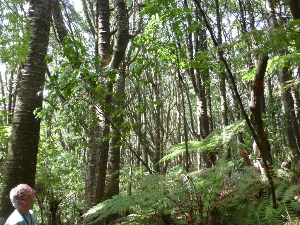 Young Kauri Forest