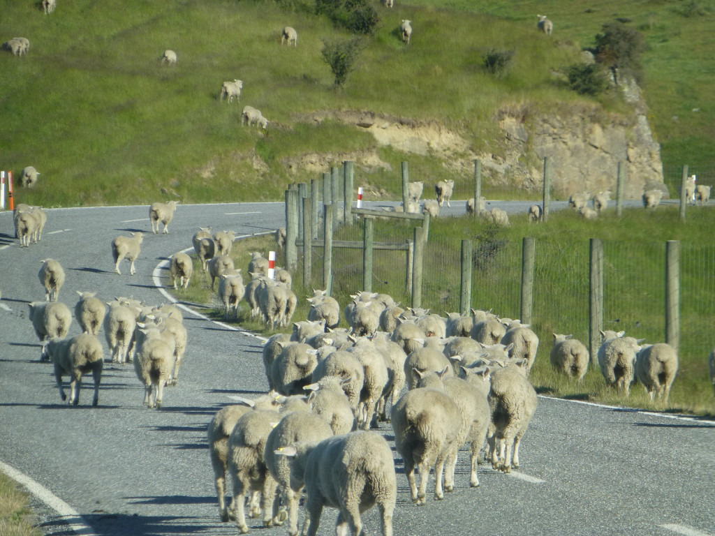 Sheep walking down the road