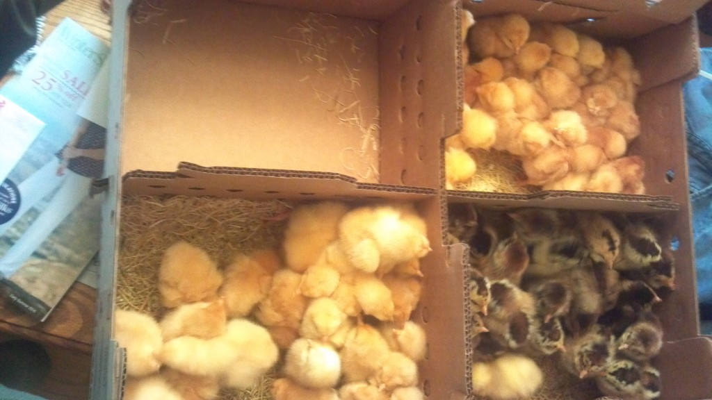 25 Each of Golden Comet and Aracauna Pullets, Plus 25 Buff Orpington Roosters