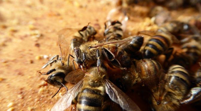 Nosema and Varroa Mites Killed My Bees
